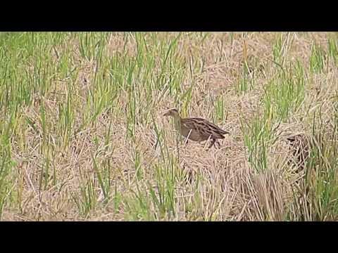 Watercock in Malaysia Sekinchan Paddy Field
