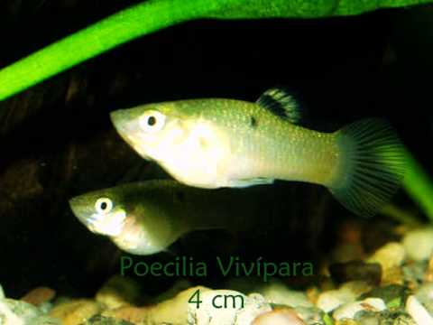 Tipos de peces peque os youtube for Peces en estanques pequenos