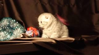 Keks ScoFild котик питомника шотландских кошек г.Челябинск