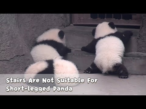 Stairs Are Not Suitable For Short-legged Panda | iPanda