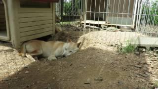 寝言を言う山陰柴犬リンです。