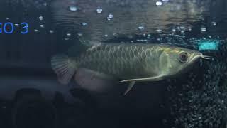 จำหน่ายปลามังกรสายพันธุ์ดี ปลานำเข้าถูกกฏหมายเอกสารครบทุกขั้นตอน จัดส่งทั่วประเทศ รับตัดตู้ปลาขนาด ตู้ปลามังกร ปลาสวยงาม ตู้ปลาน้ำจืดน้ำเค็ม #FoeverArowana ...