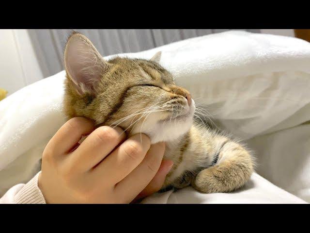 会えなくなる妹に全力で甘えて寝落ちする猫たち!