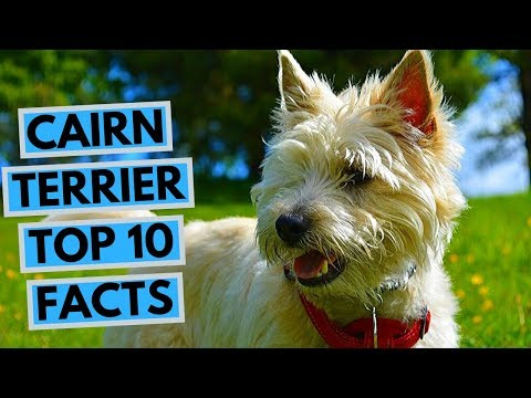 Cairn Terrier  TOP 10 Interesting Facts