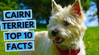 Cairn Terrier  TOP 10 Interesting Facts