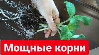 Семена прорастут за 5 дней, корни сразу с кулак