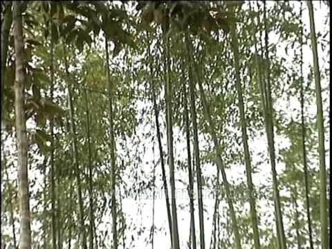 Bamboo groves in Ziro, Arunachal Pradesh