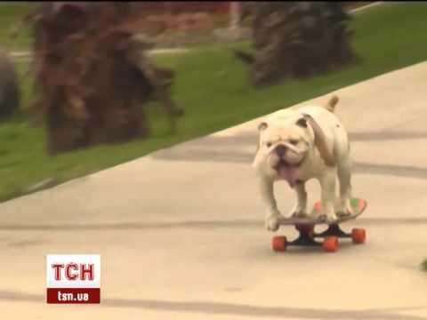 пес на скейте