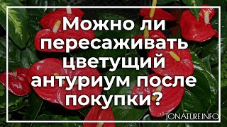 можно ли пересаживать цветущий антуриум после покупки?  toNature.Info