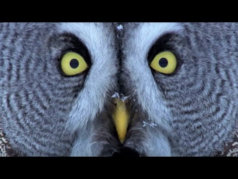 Download Mesmerising Owl Moments   BBC Earth