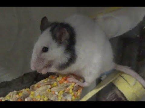 Вопрос: Каких животных называют фараоновы мыши?