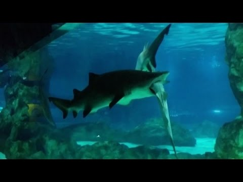 Seul squalo mangia squalo nell 39 acquario di coex youtube for Disegno squalo