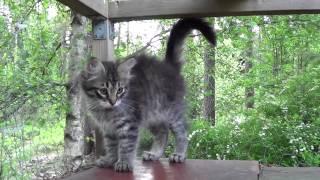 KissinTassun Gringo 12 viikkoa