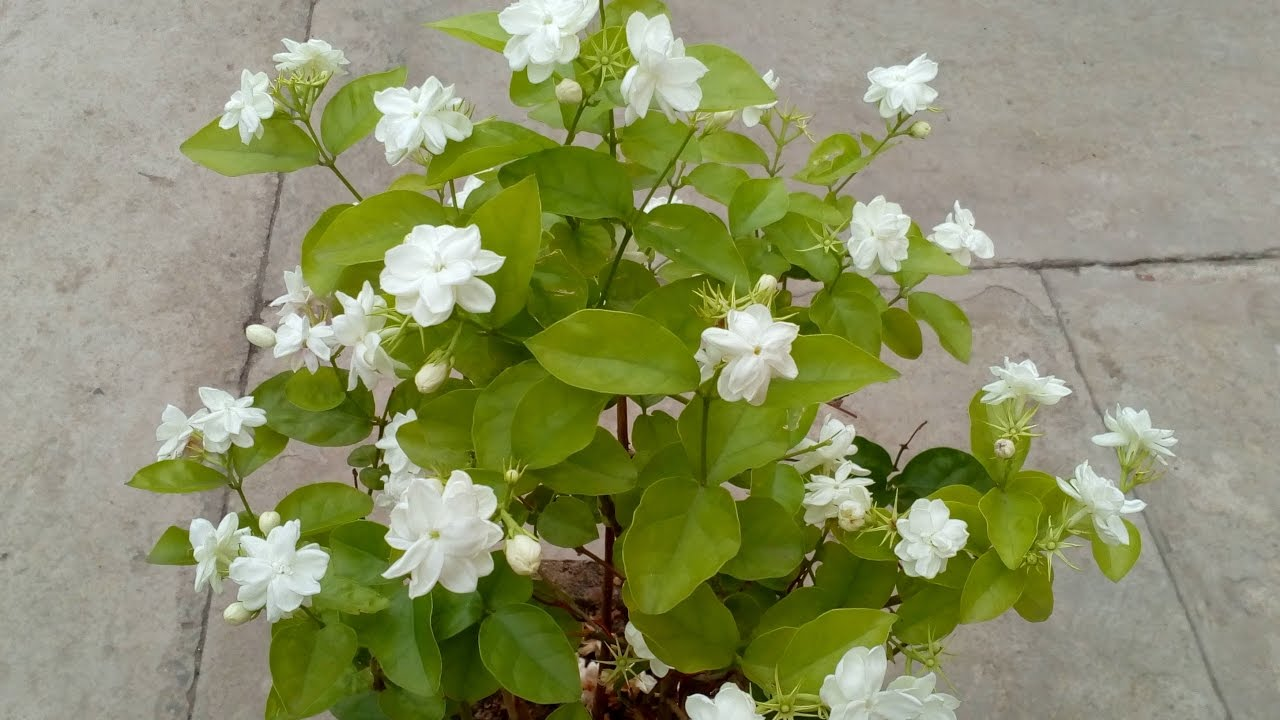 How to grow Jasmine plant in the pot   YouTube How to grow Jasmine plant in the pot