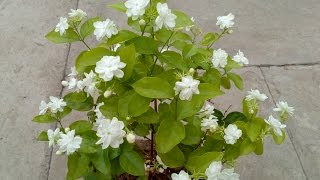 How to grow Jasmine plant in the pot with care.
