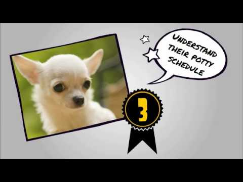 How To Potty Train A Chihuahua FAST at home in Apartment