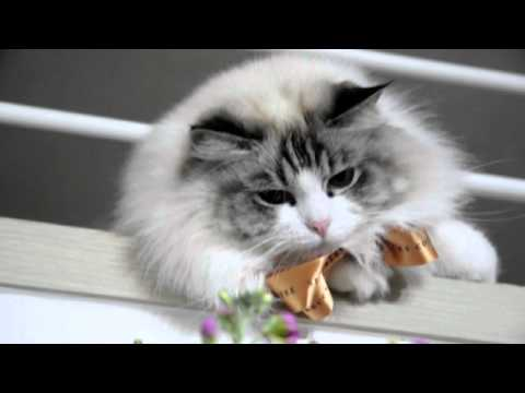 STARBUCKS CAT☆Ragdoll Brandy☆Seal Lynx Bi-color Ragdoll
