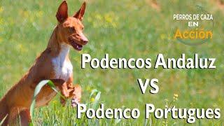 PODENCOS ANDALUZ vs PORTUGUÉS ¿Quién ganara?