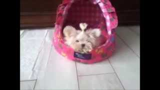 Baby Tinkerbell ~ Micro Size Maltese Puppy ~