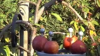 Blackbird Eating Apples On Obelisk