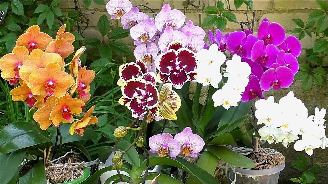 Орхидейная эстафета. Мои самые дорогие орхидеи 💞