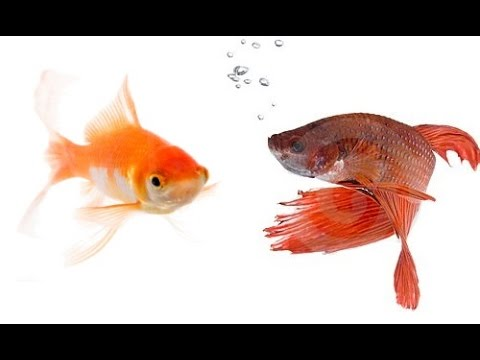 Do Bettas And Goldfish Get Along?