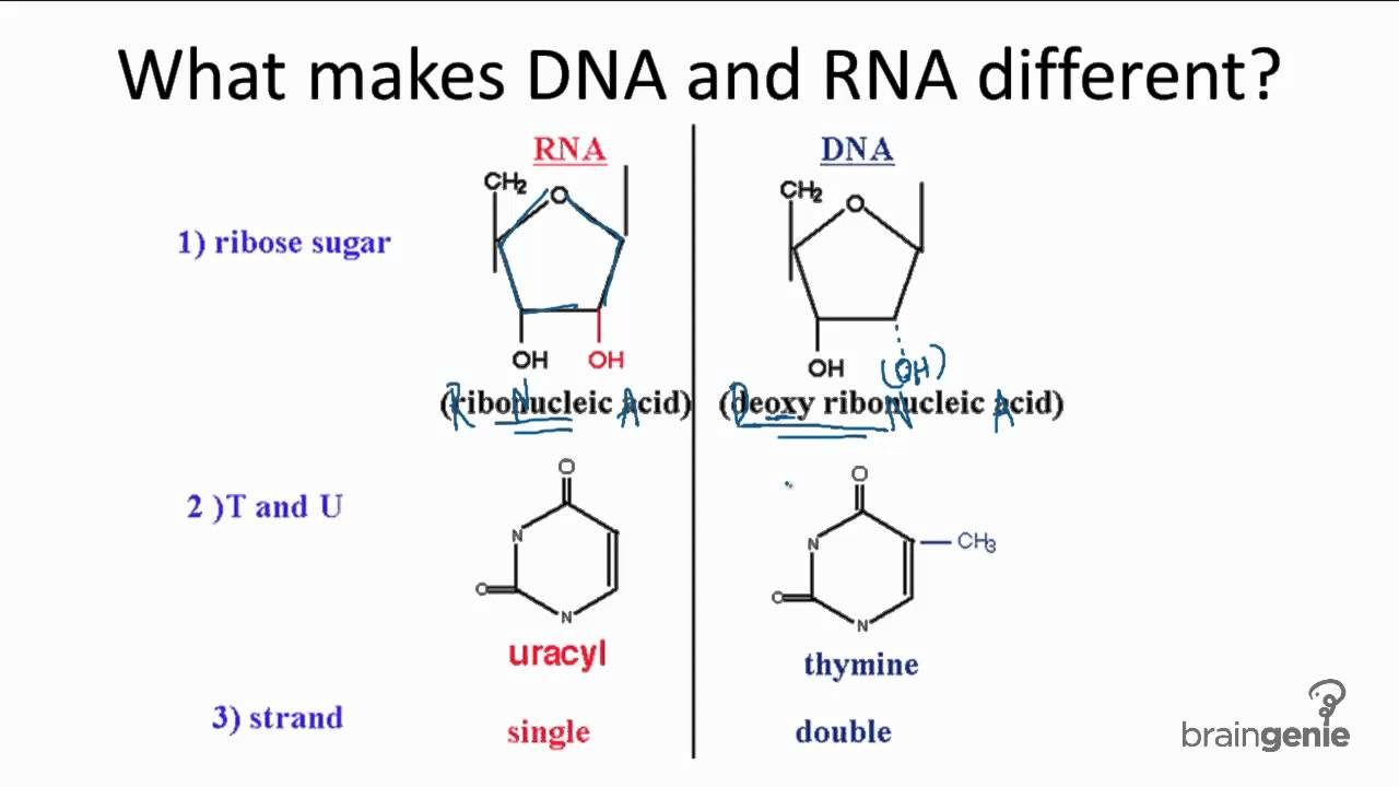 small resolution of dna vs rna 10 3 1 differences between dna and rna youtube