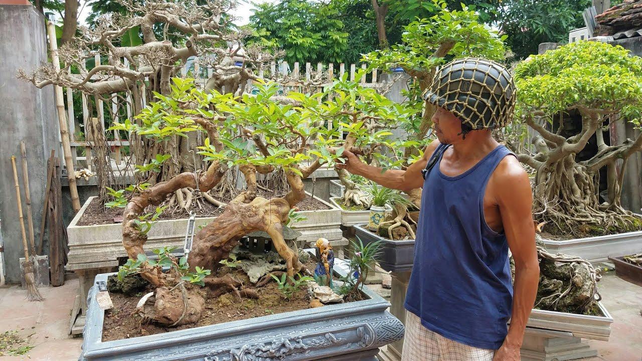 SH.1694.Thăm vườn cảnh Nguyễn Văn Lập cây hoa Giấy 14tr.phường Phú thịnh.thị xã Sơn Tây. Hà Nội
