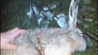 охота на зайца  Как поймать зайца огородника на капкан КП 250