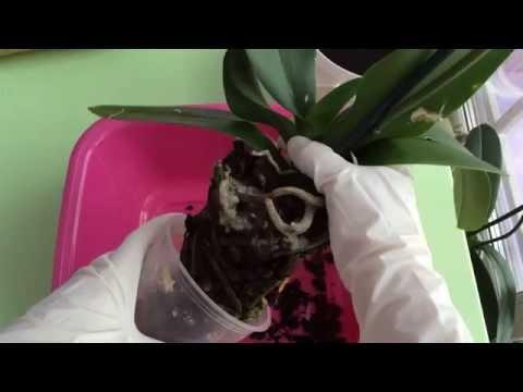 Ногохвостки в субстрате с орхидеей.. Способы борьбы (часть 2)