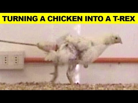Scientists Did This To A Chicken To Turn It Into A Tyrannosaurus Rex