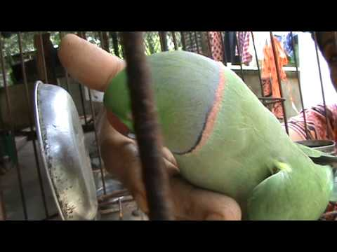 parrot   talking  kerala