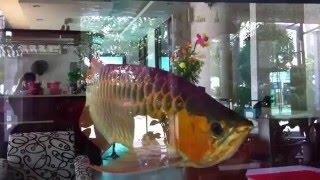 Arowana ,the best fish in Viet Nam