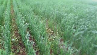 видио поле овса по гречке 3 07 18