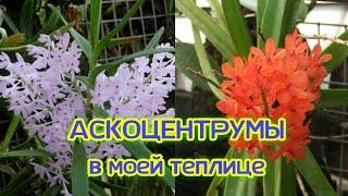 Орхидеи Поговорим об АСКОЦЕНТРУМАХ