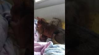 Абиссинская кошка vs ребенок