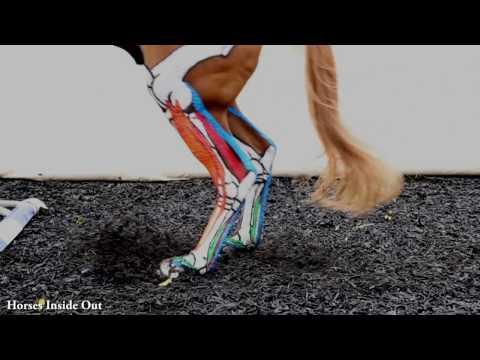 Equine Biomechanics: The Lower Limb in Action