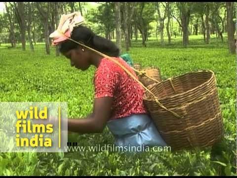 Women tea garden workers pluck tea leaves - Assam