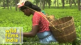 Women tea garden workers pluck tea leaves - Assam