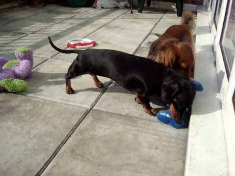 harry-&-poppy-(my-mini-dachshunds)-play-in-the-sun