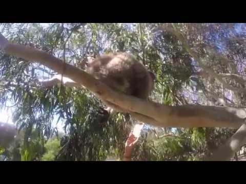 Wild Koala In Cairns