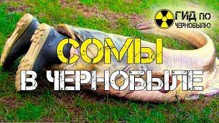 Сомы в Чернобыле - рыбы-мутанты Припяти
