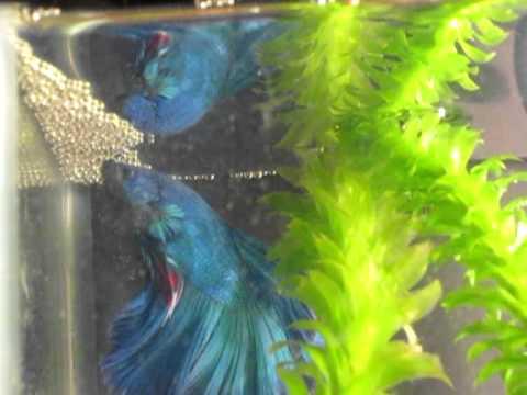 Half moon betta fighting fish making bubble nest in his for Bubbles in betta fish tank