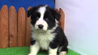 ボーダーコリーの仔犬です。 性別:女の子 カラー:ブラック&ホワイト ...