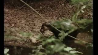Rare Video Footage of a Pygmy Hippo in Tai Forest, Ivory Coast - Part I