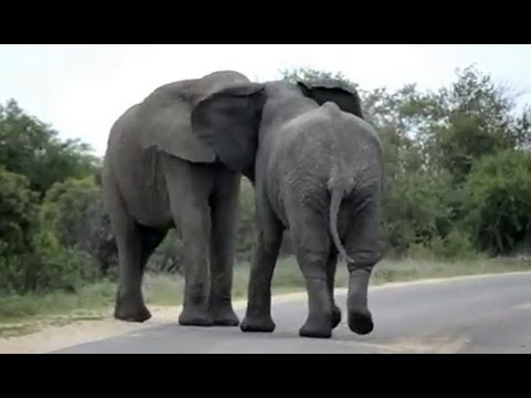 Elephants Fighting - 12 October 2012 - Latest Sightings