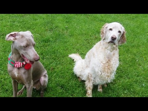 English Setter Otis, Labrador Bernie & Weimaraner Bella Boo fooling around.