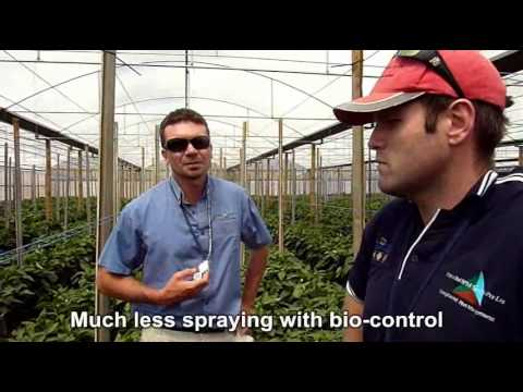 Biological pest control in greenhouse capsicums - Terry, South Australia