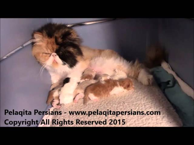 Pelaqita Persian Kittens