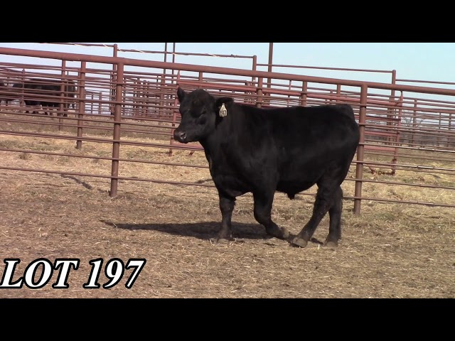 Mead Angus Farms Lot 197